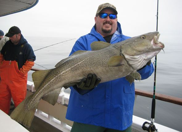 A slob cod like this monster caught south of Fire Island Inlet can eat some pretty unusual items including tube worms, rocks and sea anemones. Read on to find out what man-made delicacies have been found in the bellies of baccala. Photo courtesy of Capt. Neil Delanoy, Laura Lee, Captree, NY.