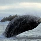 Tanaku-Lodge-Breaching-Whale-Alaska-590x442-web-otc