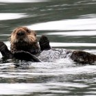 Tanaku-Lodge-Sea-Otter-Alaska-590x442-web-otc